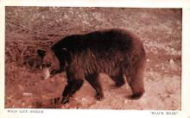 top003151 - Bear Post Card