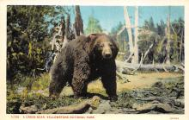 top003153 - Bear Post Card