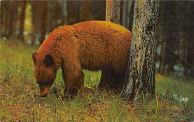 top003167 - Bear Post Card