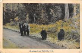 top003169 - Bear Post Card