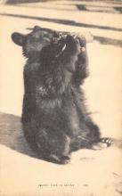top003181 - Bear Post Card