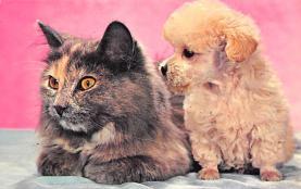 top003363 - Cat Post Card