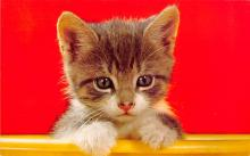 top003381 - Cat Post Card