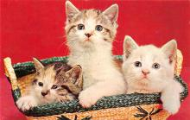 top003487 - Cat Post Card
