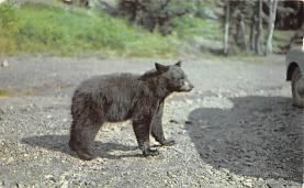 top003793 - Bear Post Card