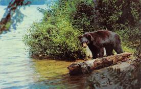 top003797 - Bear Post Card