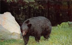 top003805 - Bear Post Card