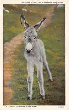 top004817 - Burro Post Card