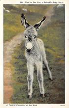 top004873 - Burro Post Card