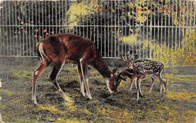 top004917 - Deer Post Card