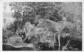 top004929 - Deer Post Card