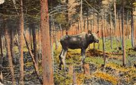 top004947 - Deer Post Card