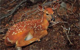 top004949 - Deer Post Card