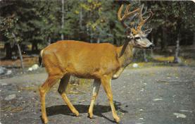 top004975 - Deer Post Card