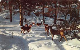 top004979 - Deer Post Card