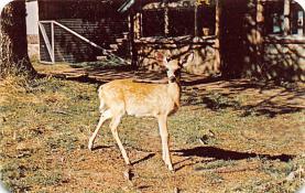 top004981 - Deer Post Card