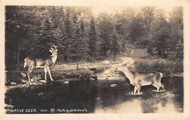 top005037 - Deer Post Card