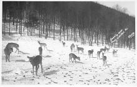 top005039 - Deer Post Card