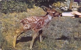 top005049 - Deer Post Card