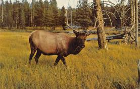 top005057 - Deer Post Card