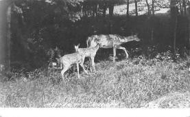 top005065 - Deer Post Card