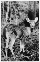 top005073 - Deer Post Card
