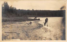 top005077 - Deer Post Card
