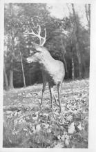 top005081 - Deer Post Card