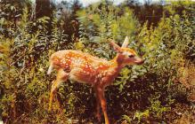 top005087 - Deer Post Card