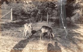 top005137 - Deer Post Card