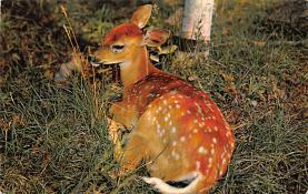 top005157 - Deer Post Card