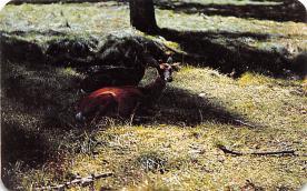 top005163 - Deer Post Card