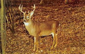 top005165 - Deer Post Card