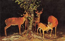 top005169 - Deer Post Card