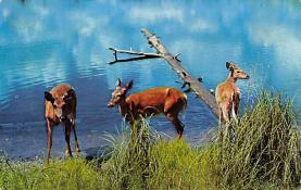 top005185 - Deer Post Card