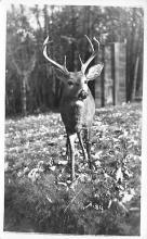 top005205 - Deer Post Card