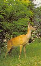 top005207 - Deer Post Card