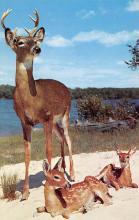 top005219 - Deer Post Card
