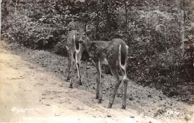 top005225 - Deer Post Card