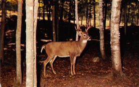 top005229 - Deer Post Card