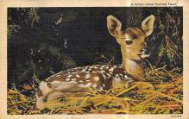 top005233 - Deer Post Card