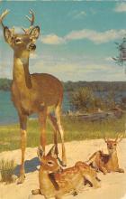 top005243 - Deer Post Card