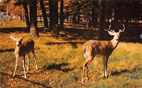 top005245 - Deer Post Card