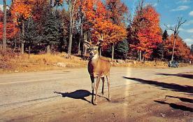 top005247 - Deer Post Card