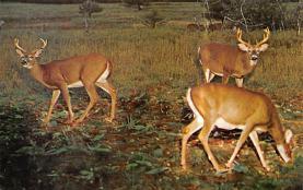 top005251 - Deer Post Card