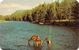 top005257 - Deer Post Card