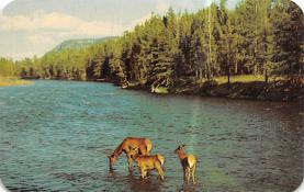 top005261 - Deer Post Card