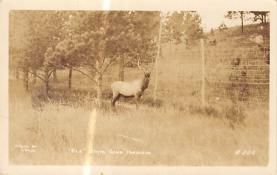 top005267 - Deer Post Card