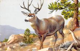 top005273 - Deer Post Card