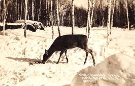 top005275 - Deer Post Card